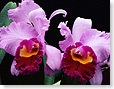 flower_orchid