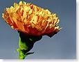 flower_carnation