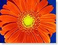 flower_daisy