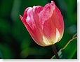 flower_tulip